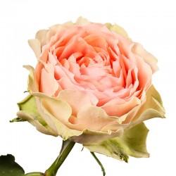 Роза пионовидная Гравити (gravity)