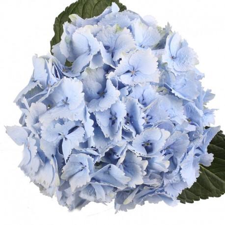Гортензия голубая (Hydrangea)