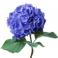Гортензия синяя (Hydrangea)