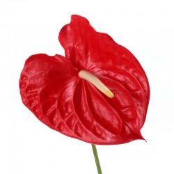 Антуриум красный