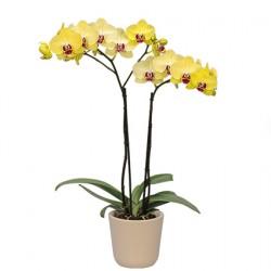Орхидея жёлтая